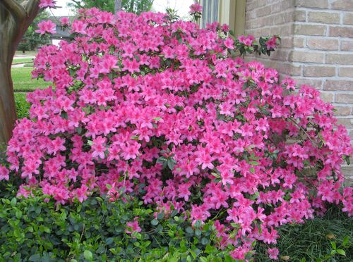Neighbor's view of Azalea Bush