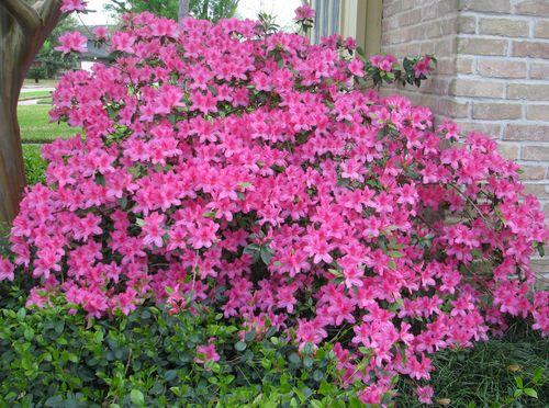 Neighbor's view of Azalea Bush