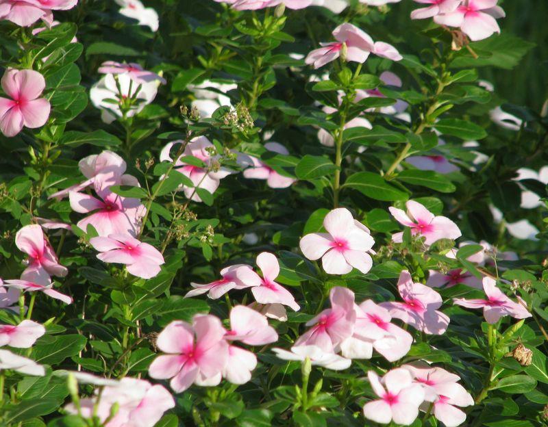 Pink Periwinkles