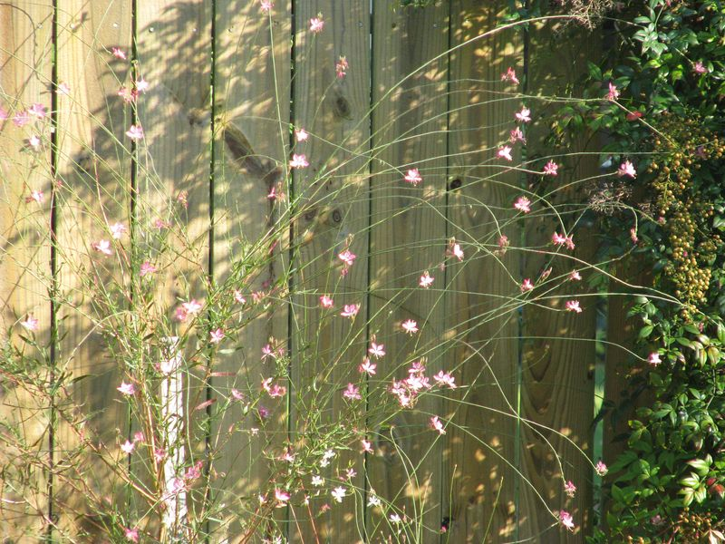 Gaura Pink Flowers