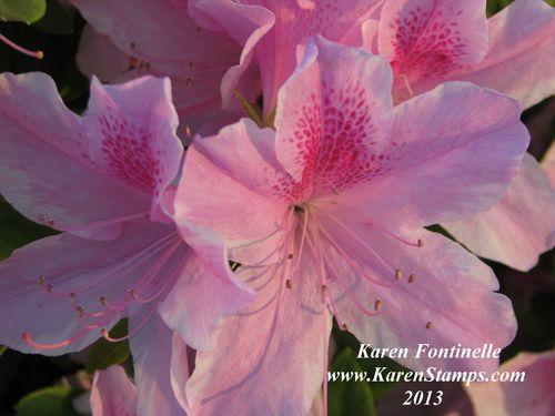 Pink Azalea closeup
