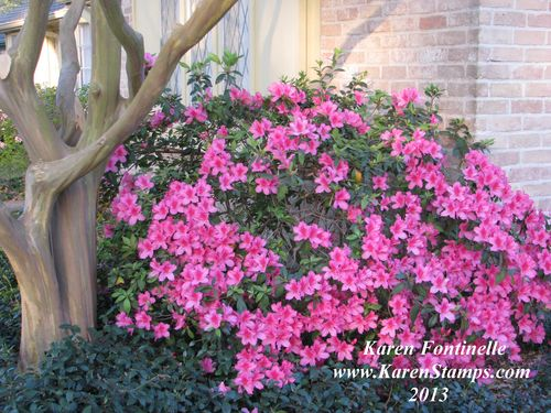 Dark Pink Azalea Bush